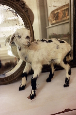 Taxidermy pygmy goat kid