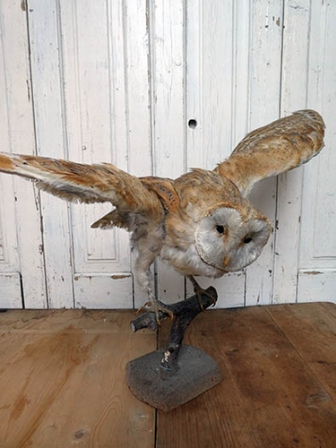 Taxidermy barnowl