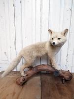 Opgezette jonge vos